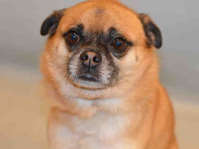 Manhattan center NICO – A1092606  NEUTERED MALE, BROWN / TAN, PUG MIX, 4 yrs OWNER SUR – ONHOLDHERE, HOLD FOR ID Reason MOVE2PRIVA Intake condition EXAM REQ Intake Date 10/06/2016, From NY 10463, DueOut Date10/13/2016,