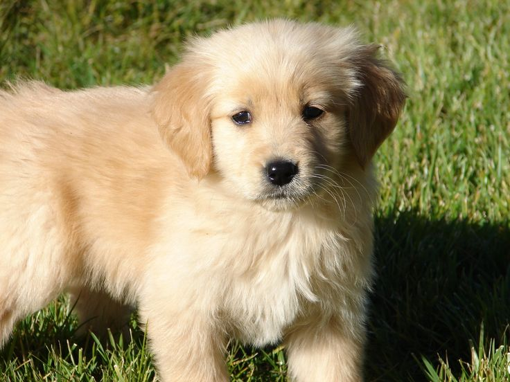 Red Golden Retriever Puppies Bay Area 2021