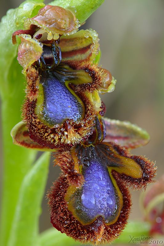 Espéculo Ophrys orquídeas selvagens de Espanha ... um coração roxo na garganta da flor