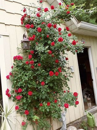 A Rose Bush Brought Back To Life via Cindy Duensing 8) You skip over the weak, energy sapping stems Susan Fox, an expert on all things roses, says that when pruning roses, you should cut out any stem thinner than a pencil. These stems will not be productive, yet sap energy and nutrients from the rest of the plant.