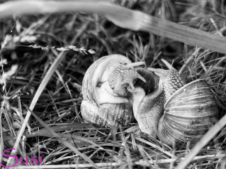 Schwarz Weiß im August - Weinbergschnecken in Schwarz-Weiß --  escargot - apple snail - Burgundy snail - edible snail -  Roman snail - vineyard snail [Helix pomatia]