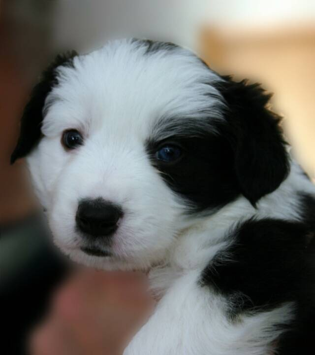 Wildfire Border Collies: breeder