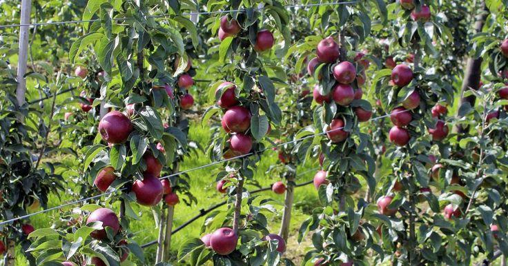 Schmal wachsende Apfel- und Kirschbäume - sogenanntes Säulenobst - brauchen eine spezielle Pflege, um auch im Kübel auf der Terrasse gute und gleichmäßige Erträge zu liefern. Obstzüchter und Obstbau-Experte Hans Hofmann gibt Tipps.