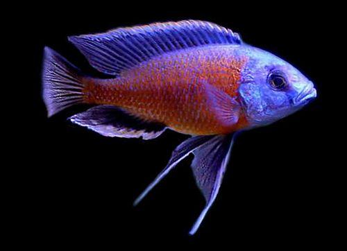 Line Majestic Aquariums, Fish Freshwater, Malawi Cichlides, Malawi ...