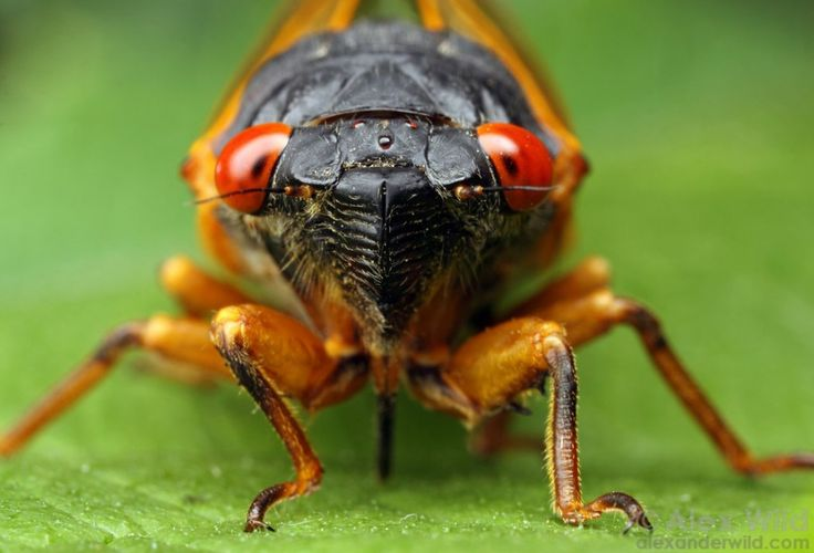 Magicicada periodical cicada by alexanderwild: Characterized by red compound eyes, cicadas in the genus Magicicada spend 17 years (or, more rarely, 13 years) maturing underground before emerging en masse to mate. These emergences take place in May or June and involve several species, each with a different song. http://boingboing.net/2014/06/16/pretty-portraits-of-periodical.html #Insects #Periodical_Cicada #Magicicada #Brood_III