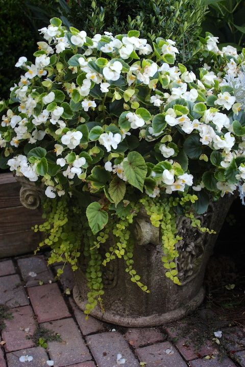 Garden Walk Chattanooga: Begonias, Creeping Jenny...in A Composite, Super