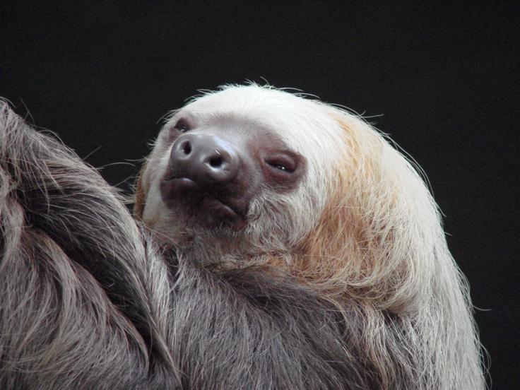 Chloe the sloth, Como Park Zoo, St. Paul, MN