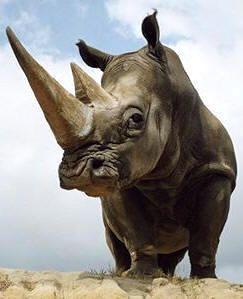 Los cuernos de los rinocerontes no tienen hueso; están formados por una sustancia, la queratina, que es segregada por las capas externas de la piel