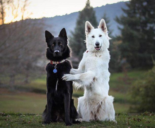 """Kaya e Hades são um lindo casal de pastores alemães, ela branca, ele preto. Os dois vivem em Rotorua, na Nova Zelândia, e viraram sensação no Redditapós terem as fotos de seu """"casamento"""" publicadas. Não parecem mesmo feitos um para o outro?      Segundo o dono dos cães, que têm um perfil fofo e divertido no Instagram, a amizade..."""