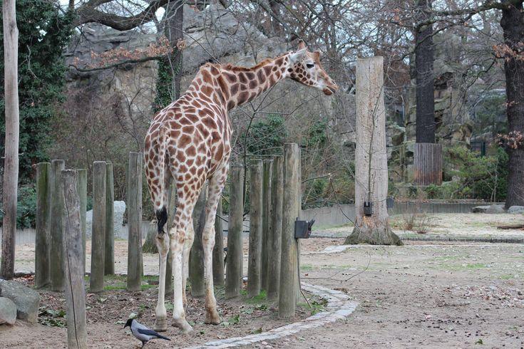 Giraffe Berliner Zoo Giraffe Zoo Animals