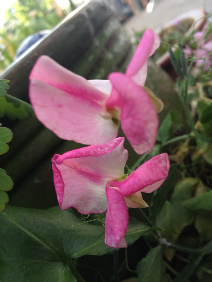 Sweet pea in bloom
