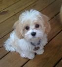 Cavachons, Puppies, Westie, Puppies, AKC , Sukey's, Non-Shedding Hypoallergenic, Pups, Arizona, AZ, Sukey's