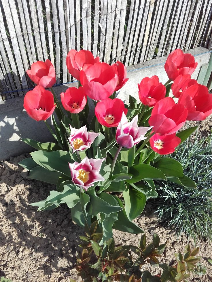 Tulipány u plotu - polovina dubna 2018.