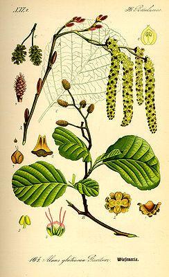 """""""Die #Schwarz_Erle (Alnus glutinosa), auch in der Schreibweise Schwarzerle, ist ein mittelgroßer Laubbaum aus der Gattung der Erlen und gehört damit zur Familie der Birkengewächse (Betulaceae)."""""""