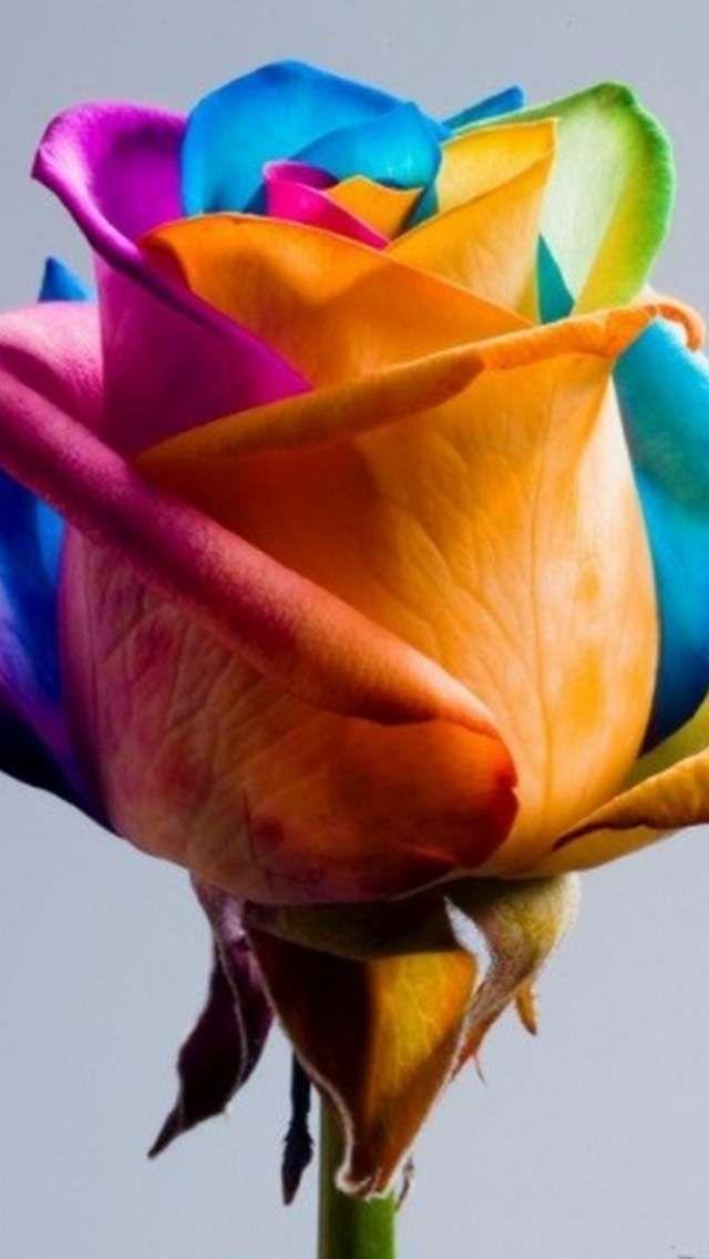 Rainbow Coloured Rose