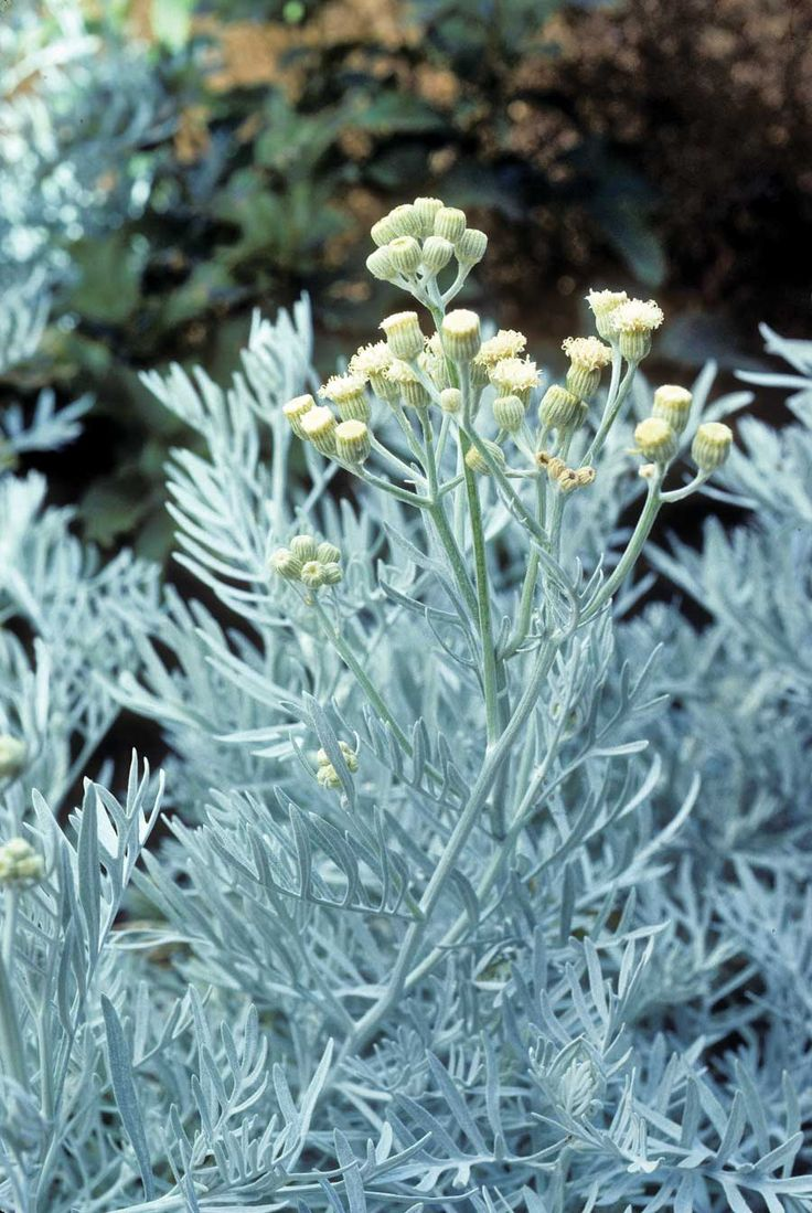 7 Sensational Silver Plants—designed to withstand climate extremes and enliven garden schemes!