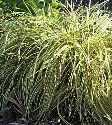 93 best images about desert plants zone 8 to 12 on for Tall ornamental grasses for sun