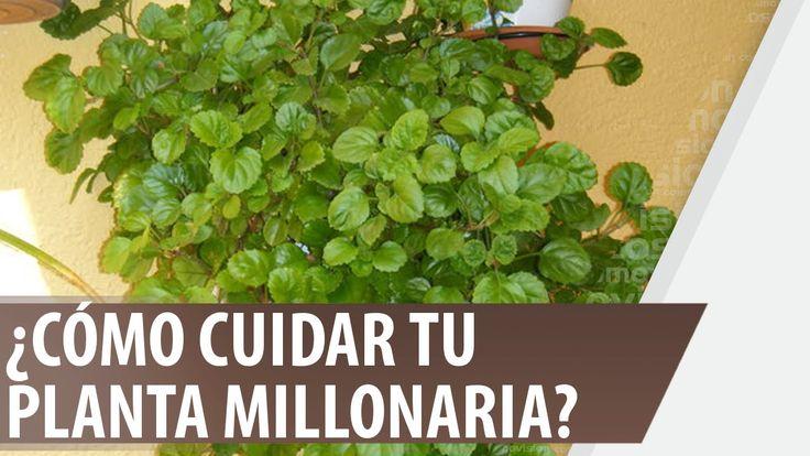 ¿Cómo cuidar tu planta millonaria?