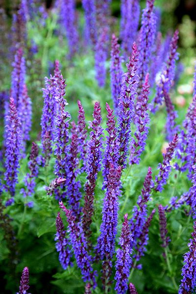 DRIVEWAY BED  This is one of the best Salvias available.    (syn. Salvia May Night) Salvia × sylvestris 'Mainacht': Delivery by Crocus.co.uk
