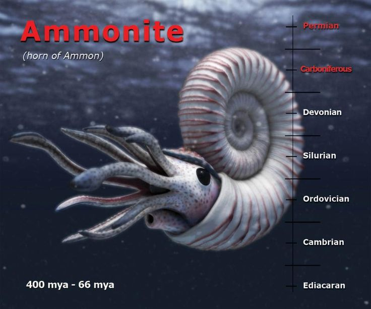Ammonites are thought to have been predacious and would have been adept at gliding across seabeds using their arms and tentacles to grab prey as it passed by.  A formidable beak would have made short work of anything caught in this manner. If attacked themselves they could pull back into the hardened shell and close down a leathery mantle. This dual ability to hunt and protect themselves proved very effective as ammonites survived for over 300 million years.