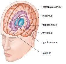 Afbeeldingsresultaat voor hersenen