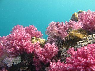 Ko Lipe Diving - The beautiful soft corals of Stonehenge - Koh Lipe, Tarutao National Marine Park, Thailand | by Ko Lipe Diving