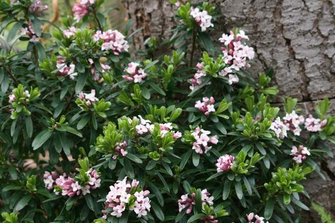 Plants that Make Scents - Pacific Horticulture Magazine - Daphne ×transatlantica 'Eternal Fragrance' is prized for its heavenly scented  spring blossoms. Photo: Richie Steffen, Great Plant Picks
