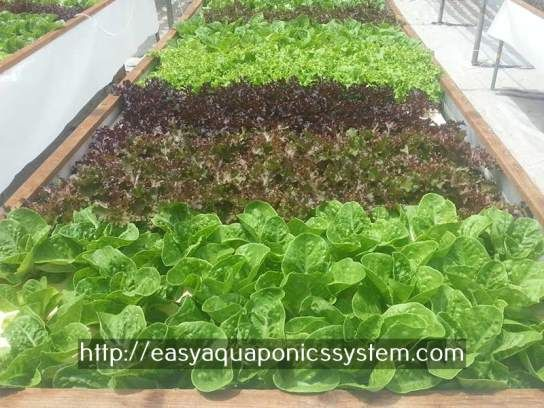 aquaponics systems for sale - aquaculture hydroponics.aquaponics tank systems for sale 9915398781