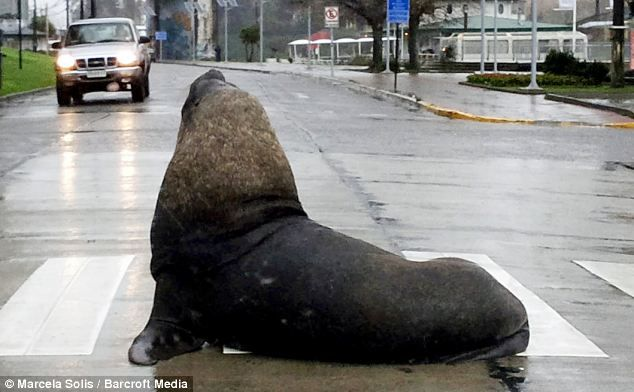 Road block: The sea lion waddled on to a busy road in Valdivia, Chile - but at least had t...
