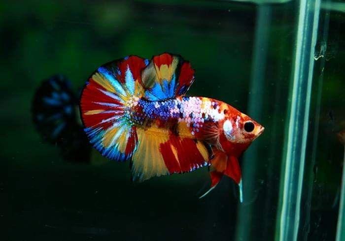 Real Life Rainbow Fish Platy Fish Aquarium Fish Tropical Freshwater Fish