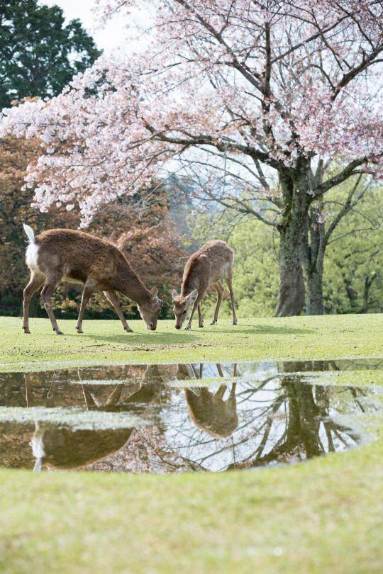 555:「奈良公園の飛火野にて撮影。雨上がりに2頭の鹿が桜の下で芝を食べていて、朝の清々しい光景が見れました。」@奈良公園