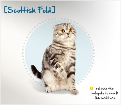 Did you know the history of the Scottish Fold can be traced back to one tiny kitten – a white barn cat named Susie?  Susie was found at a farm in Scotland in 1961 with a unique owl-like appearance, caused by her folded ears.  She was gathered up and used as a breeding cat, thus starting the entire breed of the Scottish Fold! Learn more about this breed at the Petplan pet insurance website: http://ow.ly/9utnQ
