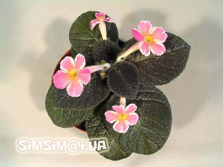 Episcia 'Star of Bethlehem'    One of the most beautiful and unusual Episcia!            Strange pattern...      Sometimes you can get somet...