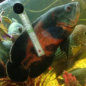 1229 best uk fishkeeping items for sale images on for Large oscar fish for sale