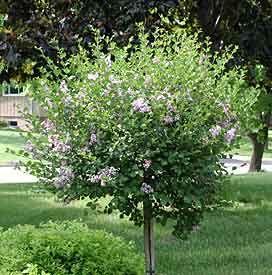 1000 ideas about dwarf lilac tree on pinterest dwarf for Dwarf ornamental trees for zone 4