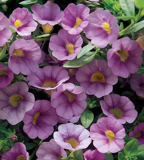 Million Bells® Mounding Lavender Calibrachoa