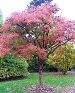 Chinese maple tree