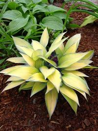Hosta 'Katharine Lewis'.  Love the pointiness and the color.  Very unique