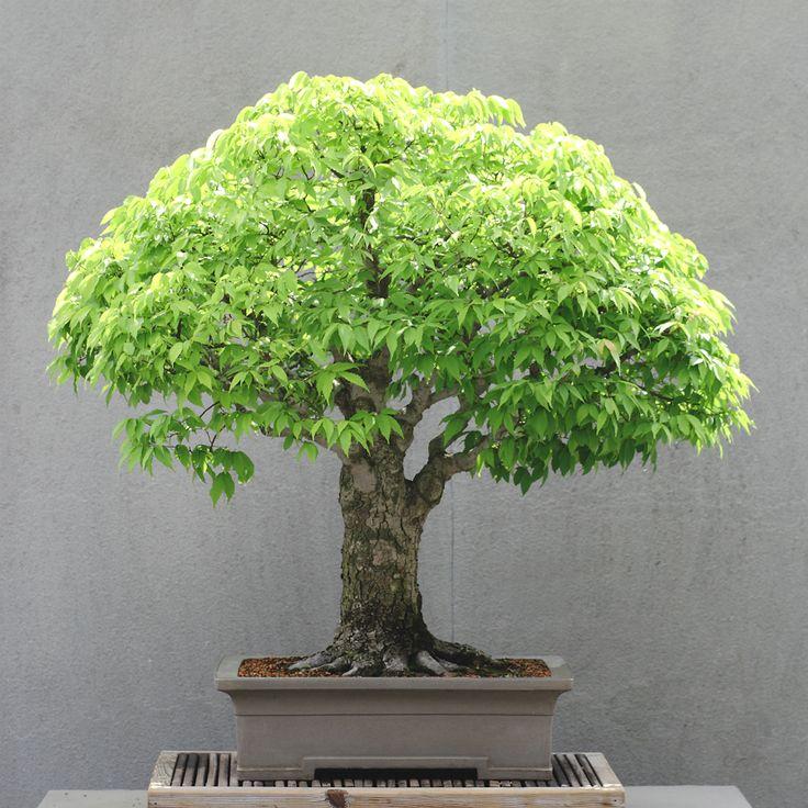 """Bonsai 盆栽 Zelkova """"Serrata"""""""
