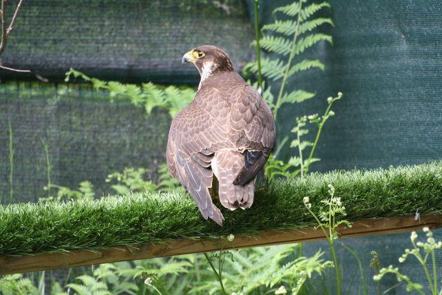 Falco pellegrino (Foto di M.Canziani) in cura presso il CRAS (www.uomoeterritoriopronatura.it).