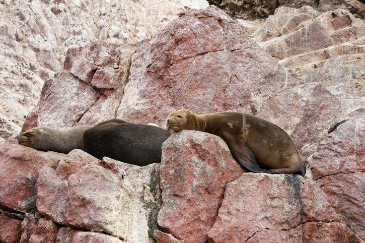 Морские львы, Паракас, острова Бальестас