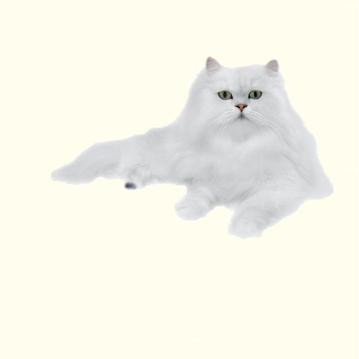 Sfaturi despre rasfat si despre buna crestere si educatie pisiceasca va pot oferi oricand cu cea mai mare placere. Doar este specialitatea mea!