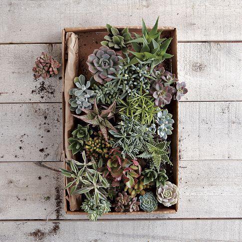 Succulents: Live plants $22.50 - $31.50: Westelm, Gardens Ideas, Succulents Plants, Assort Succulents, Colors Palettes, Gardens Projects, Terrarium, House, West Elm