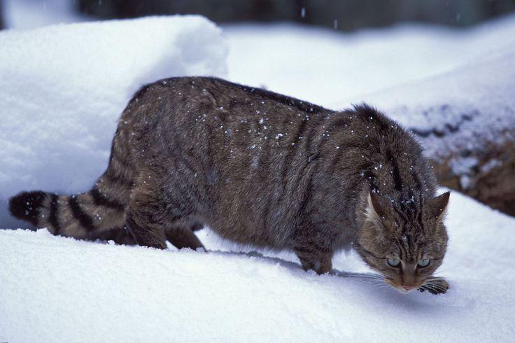 il Gatto Selvatico (Felis Silvestris) - Ph M. Lanini