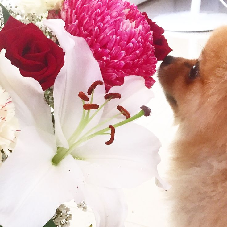 Pomeranian + Flowers