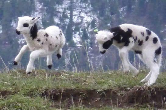 """""""A menudo se describe como parecido a una cabra, lo que puede explicarse por el estado de pura raza y la ausencia de entrecruzamiento con otras ovejas durante miles de años."""""""