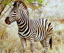 Nothing cuter than a weetle zebra.