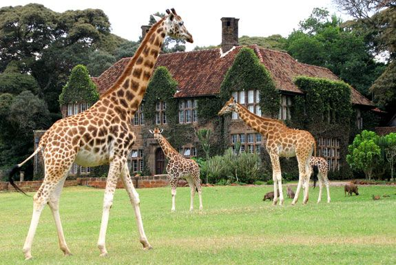 Kenya - Breakfast with a Giraffe