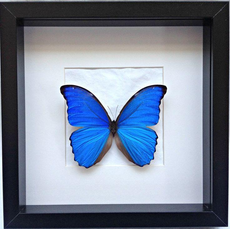Image of Kader met blauwe morpho vlinder