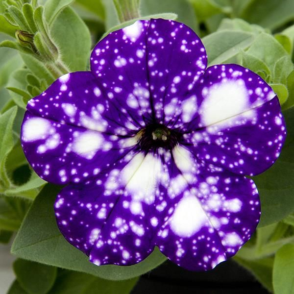 best 25 petunia plant ideas on pinterest. Black Bedroom Furniture Sets. Home Design Ideas